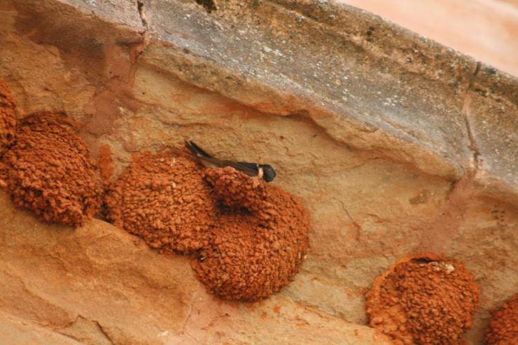 Fotografía: Avión común construyendo su nido bajo un alero. (F.J. Martín)