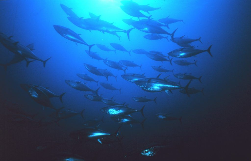 Bluefin-tuna-noaa-images-1024x656